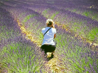 Glorious fields of blooming lavender in Provence