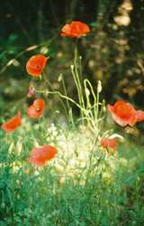 Poppies add a splash of colour in the forest
