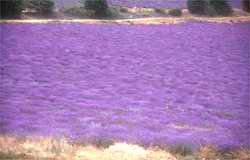 A fragrant carpet of fine lavender full of bees busily making miel de lavande