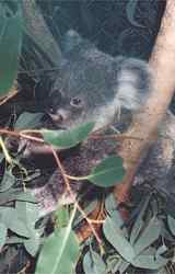 Close encounters with Koalas and other Australian native animals