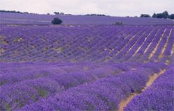 stunning fields of population lavender