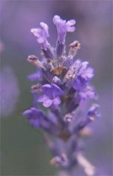 True French lavender from Provence