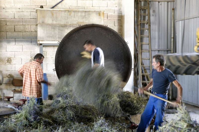 Lavender distillation in Provence France